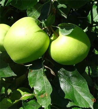 Letošnji pridelek jabolk v EU in Sloveniji ter obiranje skupine sort Zlati Delišes in Jonagold v Podravju