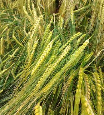 Zakaj je tudi v ekološkem kmetovanju potrebna spomladanska oskrba žit?