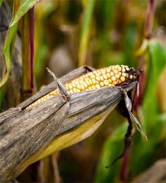 Stanje posevkov ozimnih žit