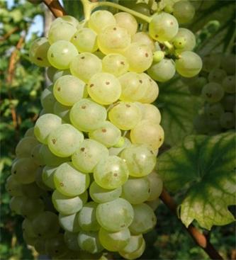 Spletni seminar Ekološko vinogradništvo in vinarstvo v Sloveniji