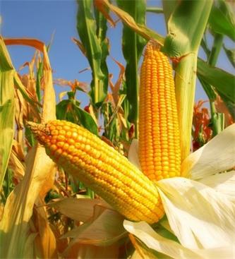 Priporočeni hibridi koruze za leto 2021