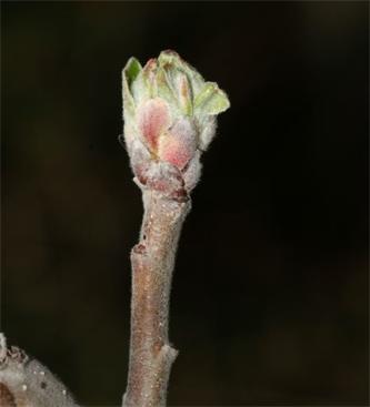 Obvestilo o varstvu sadnega drevja