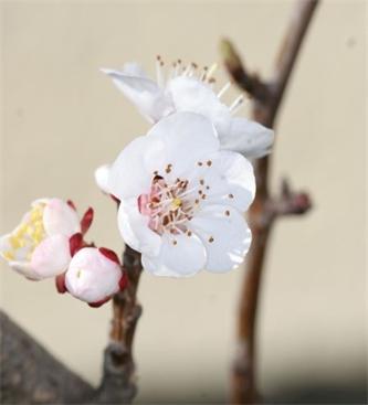 Obvestilo o varstvu breskev, nektarin in marelic št.1