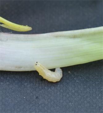 Obvestilo o pojavu česnove muhe (Suillia lurida meig)