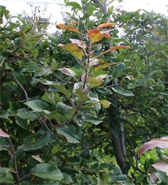 Ukrepi za zmanjšanje okužb jablan s fitoplazmo apple profileration - Candidatud Phytoplasma mali