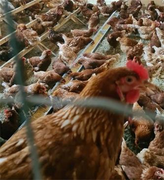 Kaj moramo vedeti, preden si omislimo jato kokoši?