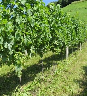 Delavnica: Ekološka pridelava grozdja in vina