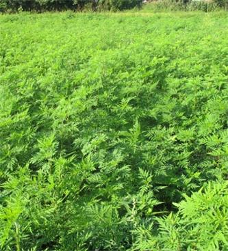 Zatiranje plevelov na strniščih in opozorilo o zatiranju pelinolistne ambrozije